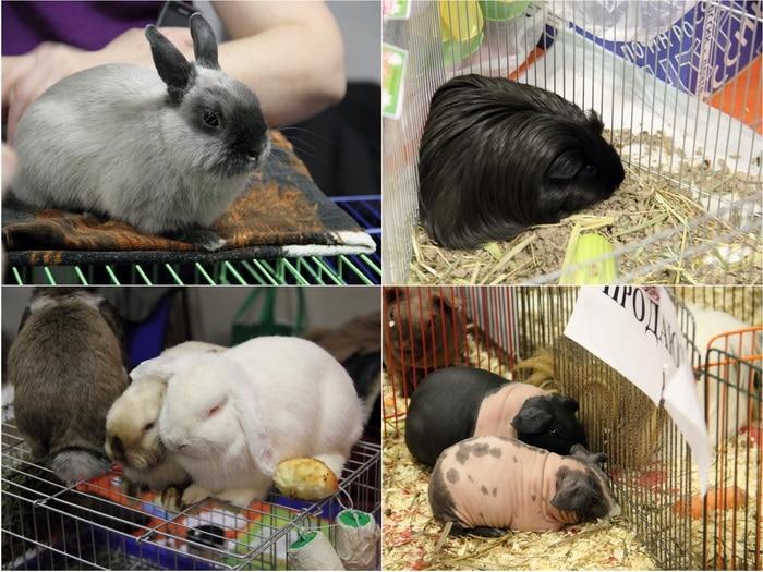 Кролики и морские свинки