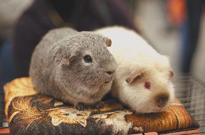 Морские свинки. Фото Александра Кунды