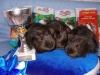 Лили4ка Цикля, Лили4ка Цирус и Gingerbread Вашингтон, шелти сатины, золотые агути.  III место среди Лучшего трио выставки