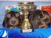 Лили4ка Цирус и Лили4к Цикля, шелти сатины, золотые агути. II место среди лучшей пары выставки