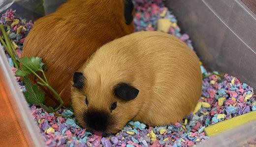 Морские свинки на выставке ЗООПАЛИТРА
