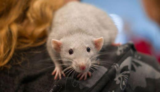 Декоративные крысы на выставке ЗООПАЛИТРА