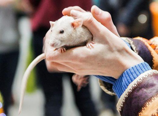 """Крысы на выставке """"ЗооПалитра"""""""